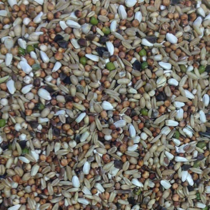 Gem Trapping & Conditioning Pigeon Feed